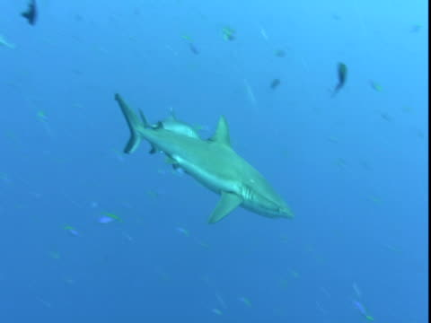 A shark glides past schools of smaller fish.