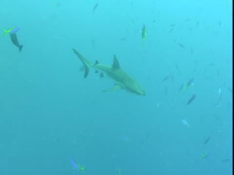 A shark glides past smaller fish.