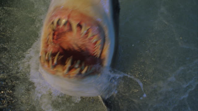 CU, HA shark lunging from turbulent water, opening mouth (shark is mechanical)