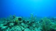 Shark lurking through a coral reef