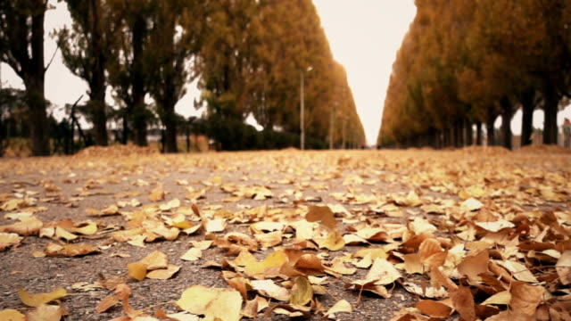 Shedding autumn leaves falling in park