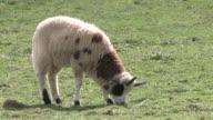 Sheep 5 - HD 1080/30f