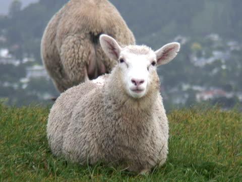 Sheep & Lamb Stares At Camera And Chews, Eats