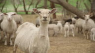 Sheep and lambs in farm