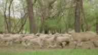 Sheep and lambs running