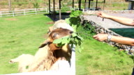 Sheep animal eating