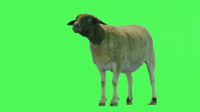 Sheep Animal on Green screen