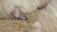 Sheep birth