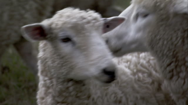 Sheep bleat and glance around as they huddle together in a grassy pasture. Available in HD.