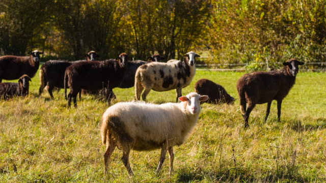 Sheep curiously looking into camera while grazing on a pasture