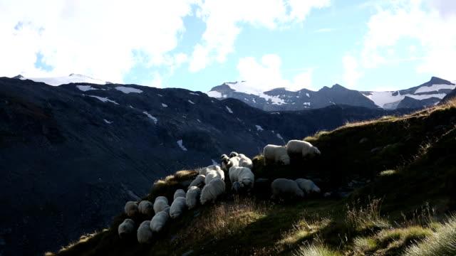 Sheep descend grassy meadow below mountains