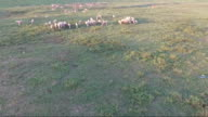 Sheep eating grass in the meadow