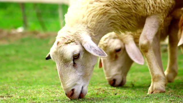 Schaf Essen Gras