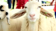 Sheep eating is yummy