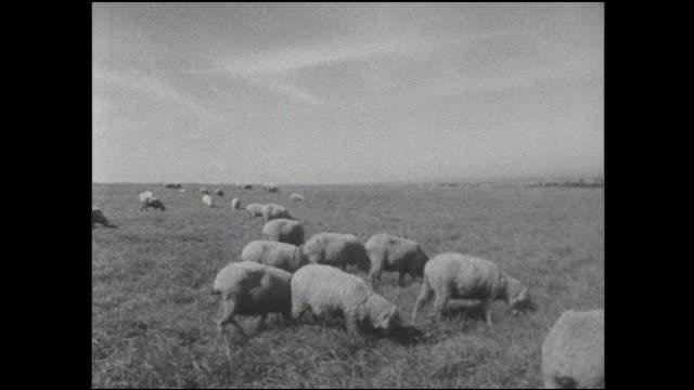 Sheep graze in a field in Hokkaido, Japan.