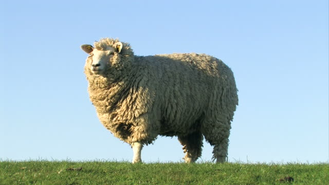 sheep grazing and looking + close up from the head