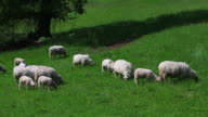 Sheep Grazing In Spring