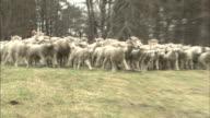 Sheep grazing /Iwate