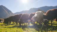 Sheep grazing on a pasture and eating grass