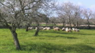 WS Sheep grazing on field next to blooming almond trees / Majorca, Balearic Islands, Spain