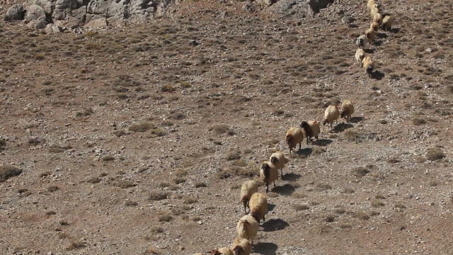 Sheep herd in drought