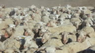 MS TS Sheep herd running towards with crowd blowing dust / Maricopa, California, United States