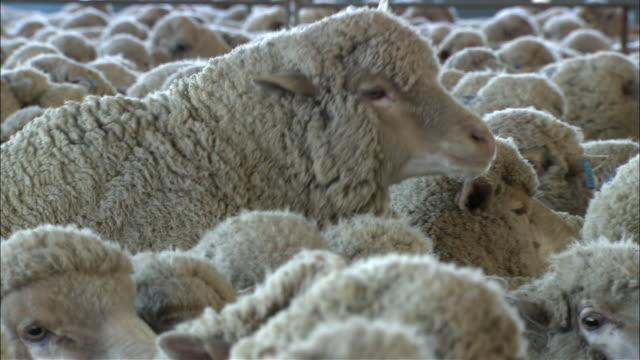 CU SELECTIVE FOCUS Sheep in catching pen, Toowoomba, Queensland, Australia