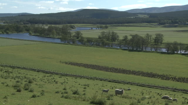 WS Sheep in grassy field near river / Nethy Bridge, Speyside, Scotland