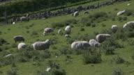 WS Sheep in grassy field / Nethy Bridge, Speyside, Scotland