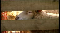 Northamptonshire EXT Mass sheep in pens / lambs in pens / sheep in pens / yew with lambs in pen D0593036 or B0461241/R07030101
