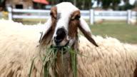 Schaf ist Essen Gras
