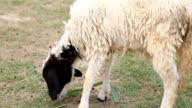 Schaf ist Essen etwas Gras