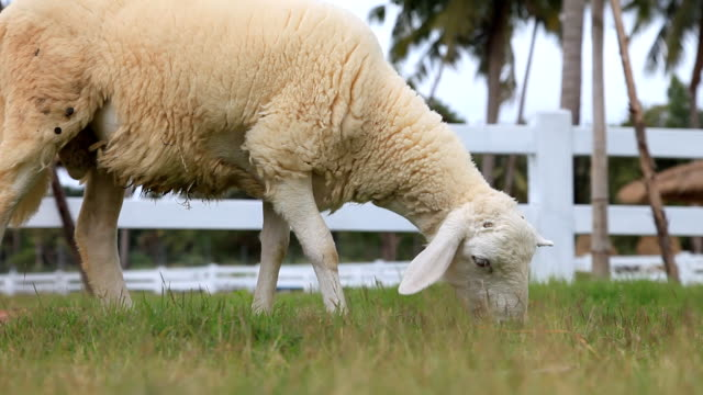 Sheep is grazing in a farm