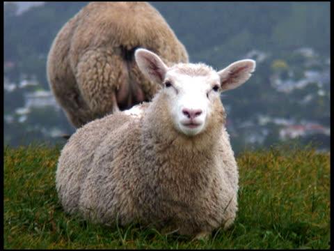 Sheep: Lamb Stares At Camera And Chews, Eats