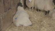 Sheep lambing