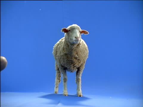 Sheep looks around