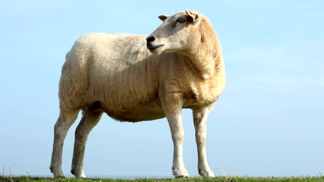 Sheep looks over