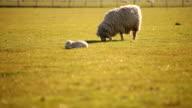 Schafe können sicher graze