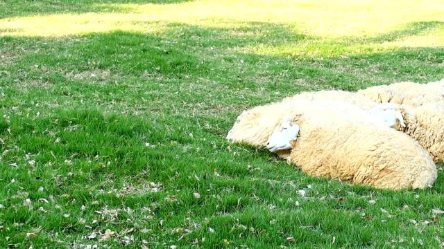 Schapen op groen gras