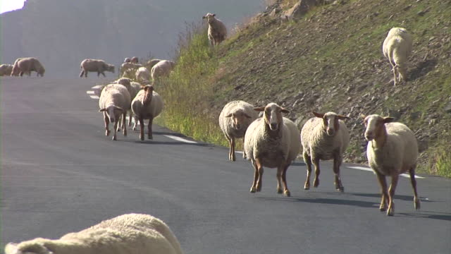 HD: Sheep running loose