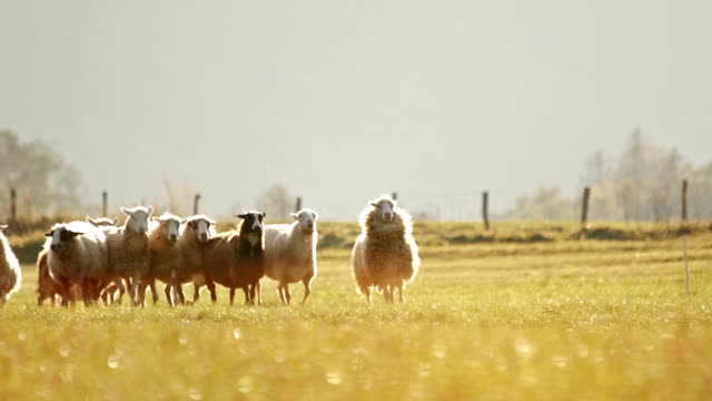 Sheep running on a pasture at sunset
