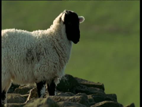 Sheep runs and jumps onto rocks then bleats several times