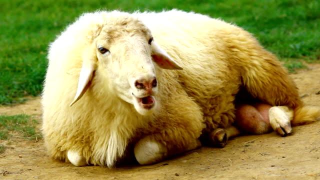 sheep sit in farm