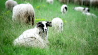Sheep standing in the field
