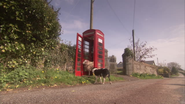 A sheep stands in a phone booth where a border collie stands watch.