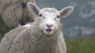 (HD1080i) Sheep Stares At Camera And Chews, Close Up
