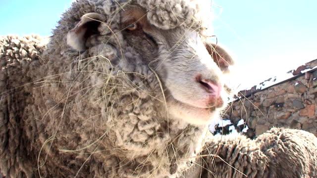 Sheep (Ovis aries)