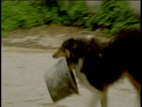 Sheepdog carries bucket towards tractor, Devon
