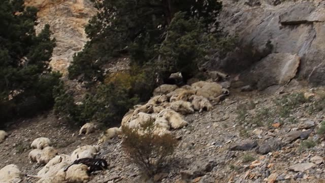 150 sheeps fall off cliff in Karaman city on south of Central Anatolia Region in Turkey on 16 October 2014 Sheeps follow the ship which fall off...