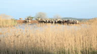 sheeps, goats drinking a water on watering place at sunset